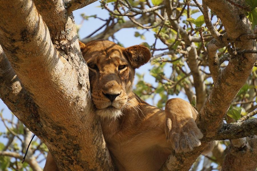 狙ってるライオン